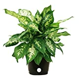 ABOUT DIEFFENBACHIA: Commonly called Dumb Cane, this plant is a tropical beauty whose lush leaves are usually marked in shades of cream, yellow, or white. It has an attractive upright growth habit. YOUR UNIQUE PLANT: Plants are living things; each on...