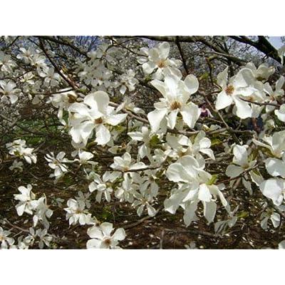 12 KOBUS Magnolia Seeds - Magnolia kobus : Garden & Outdoor