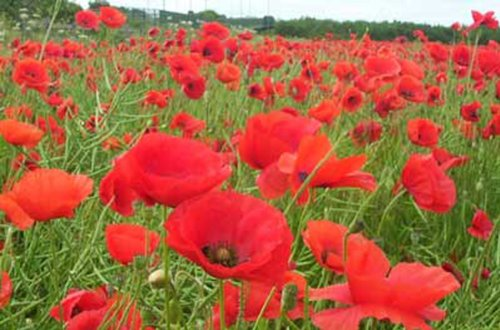 Red Flanders Poppies - 100,000 (Poppy Garden Grow Pot)