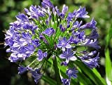 1 Agapanthus africanus(Large Plant root)African Blue Lily Hardy,Lily of the Nil