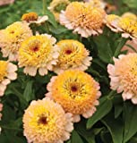 35 Zinderella Peach Zinnia Seeds - DH Seeds - Novelty, Scabiosa Blooms - UPC0687299670635