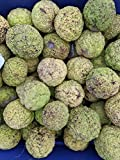 Ohio Organic Botanicals Hedge Apples, (Quantities Available 5 10 12 18 20 25) Osage Oranges, 100% Organic Insect and Spider Repellent Maclura Pomifera Fruit/Seeds