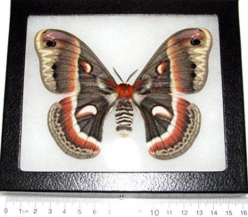 Bicbugs, LLC Real Framed Moth HYALOPHORA CECROPIA Female