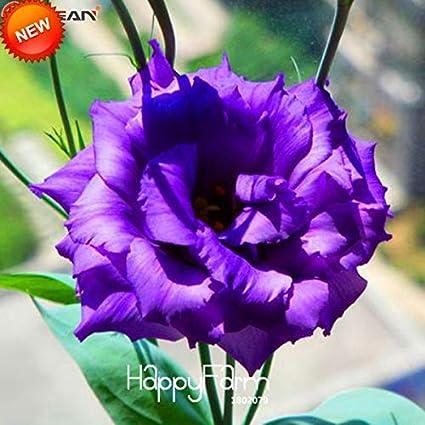 Amazon Flower Lisianthus Flowers Lisianthus Time Limitpurple