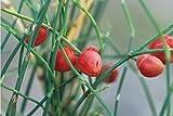 Ephedra Sinica 10 Seeds, Ma-Huang Medicinal Mormon Tea, Herb