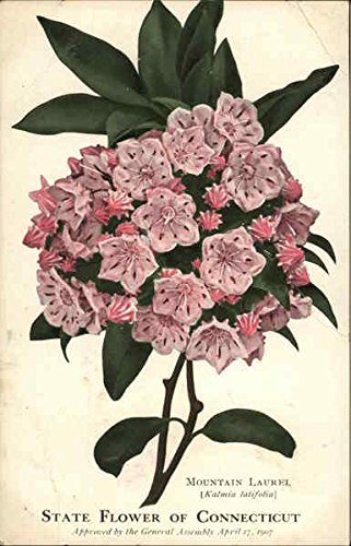 Mountain Laurel - State Flower of Connecticut State Flowers & Seals Original Vintage Postcard