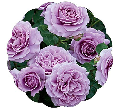 Stargazer Perennials Love Song Rose Plant Potted | Reblooming Floribunda Very Fragrant Purple 35+ Petal ()