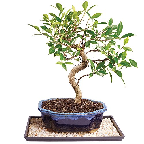 Brussel's Golden Gate Ficus Bonsai - Medium (Indoor) with Humidity Tray & Deco Rock