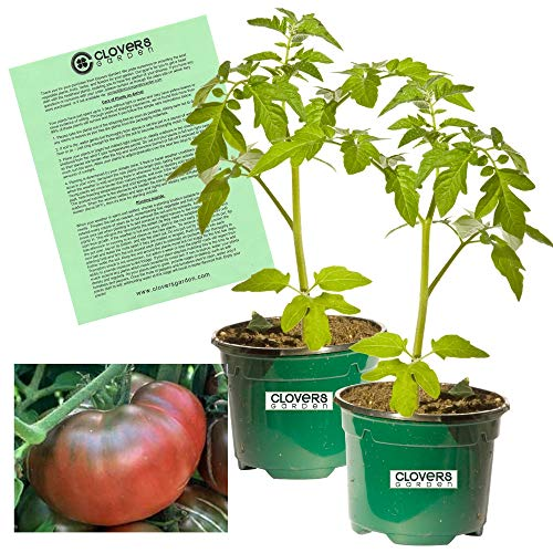 Clovers Garden Black Krim Tomato Plant- Two (2) Live Plants - Not Seeds -Each 4