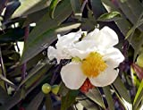 Putranjiva roxburghii 8 seeds Lucky Bean Tree Child-life Tree Small Tree Tropical Bonsai container or Standard Very Rare! White Flowers
