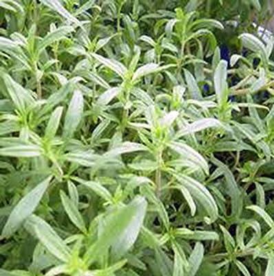 Savory, Summer, Heirloom, Organic, 100 Seeds, Non Gmo, Herb Similar to Marjarom