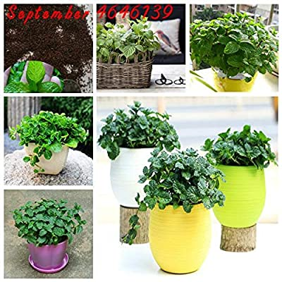 200pcs Cat Mint Aromaticpotted Plants Catnip Flores Heirloom Spearmint Herb plantas Aromatic Catnip Peppermint Bonsai Plant : Garden & Outdoor