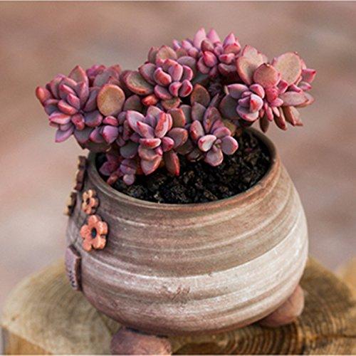- Live Succulent Plant Mini Succulents (Echeveria cv. Rezry)