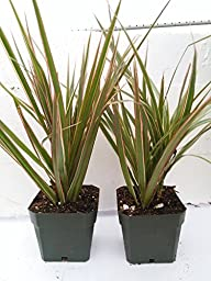Two Strong Dracaena Marginata Colorama - Tri-color Dragon Tree Houseplant From Jm Bamboo