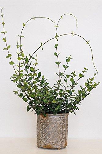 Confederate Jasmine, Trachelospermum Jasminoides (Excludes: AZ, CA), 3 Gallon by Root 98 Warehouse (Image #4)