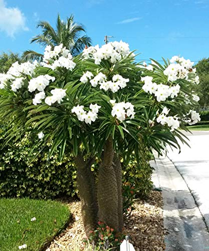 Madagascar Palm, Pachypodium lamerei, Succulent, Cactus Seeds Tropical, Blooming