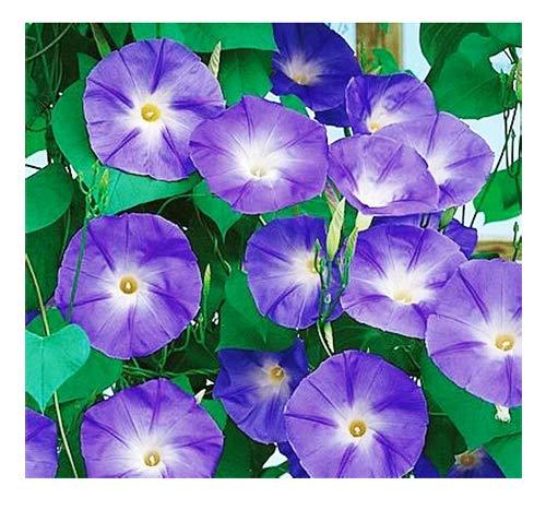 250 Purple Morning, Blooming Vine Seeds