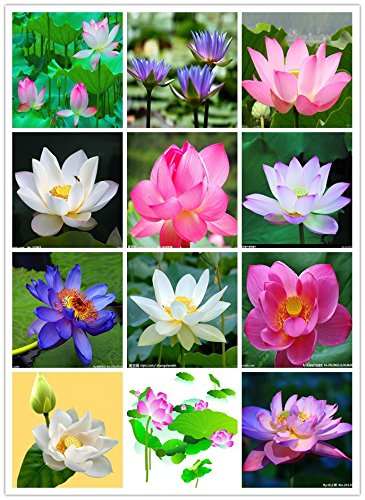 Bee Garden Organic Lotus Flower Seeds Mixed Varieties 20 Seeds
