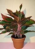 "Siam Aurora Chinese Evergreen Plant - Aglaonema - Grows in Dim Light - 6"" Pot"