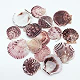 PEPPERLONELY 30 PC Pecten Purpuratus Scallop Sea Shells, 2 Inch ~ 3 Inch