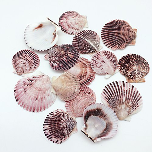 Sea Shade Scallop - PEPPERLONELY 30 PC Pecten Purpuratus Scallop Sea Shells, 2 Inch ~ 3 Inch