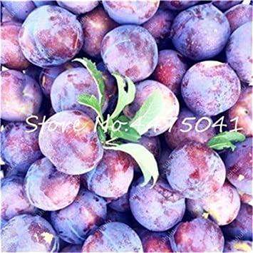 80rosaceae Prunus Cerasifera Seeds Ornamental Seeds Cherry Plum