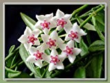 500 pcs Flower Hoya Bella Seeds Hoya kerrii Dwarf Trees Orchid Ball Garden Home
