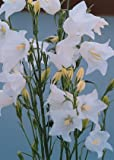 Campanula persicifolia Bells White 5,000 seeds
