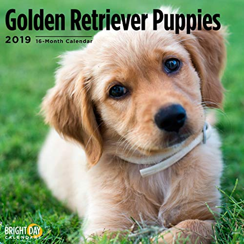 Puppies Wall Calendars by Bright Day Calendars 16 Month Wall Calendar 12 x 12 Inches (Golden Retriever Puppies 2019)