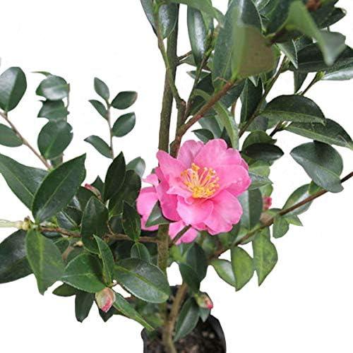 サザンカ 赤系花 樹高1.2~1.5m前後 単品 常緑 植木 庭木 花木 生垣 目隠し