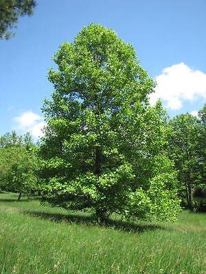 Tulip Poplar Tree - Flowering Shade Tree Live Healthy - 2 Bare Root Plants