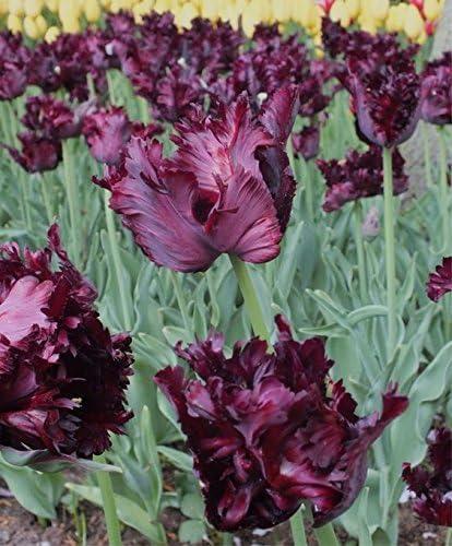 2 Semilla PcsTulip bulbos de flores Bola Flores simboliza el amor Gesneriana Plantas para jardín Decoración 2 Tulipán Negro Parro: Amazon.es: Jardín