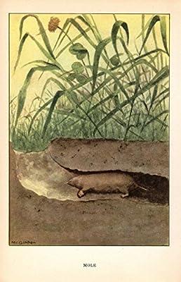 """1926 Vintage ANIMALS /""""MOLE/"""" GORGEOUS COLOR Art Print Lithograph"""