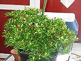 25 Seeds Little Elf Hot Pepper (Capsicum Annuum) Organically Grown, Hungarian Heirloom !