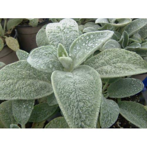 (PLE)~Velvet~LAMB'S EARS~Seeds!!~~Put Texture In Your Garden! for cheap