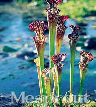New Purple Pitcher Plant Sarracenia Purpurea Flower 50+ Seeds - 11