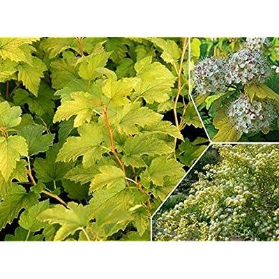 AchmadAnam - Live Plant - PHYSOCARPUS 'Nugget'. E4 : Garden & Outdoor