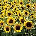 Non GMO Dwarf Sunspot Sunflower Seeds (Helianthus annuus)