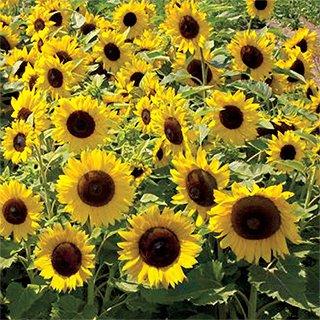 (Non GMO Dwarf Sunspot Sunflower Seeds 1,000 Seeds (1/4 Lb))