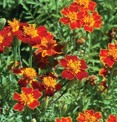 (Legend Online Garden Seeds Flower Marigold Red Gem Heat Tolerant D1857MAR (Orange Red) 1000 Open Pollinated Seeds)
