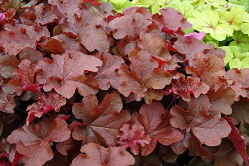 - Mahogany Coral Bells - Heuchera - Shade Perennial - Gallon Pot