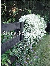 Kalash nuova 100 pezzi SEMI arrampicata Jasmine fiori per la semina