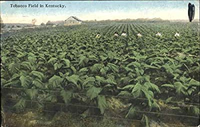 Tobacco Field In Kentucky Scenic Original Vintage Postcard
