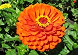 Zinnia elegans an annual flowering plant .