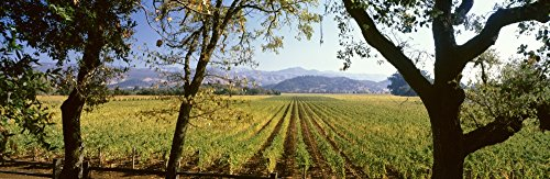 Vines in a vineyard Far Niente Winery Napa Valley California USA Poster Print (36 x 12)