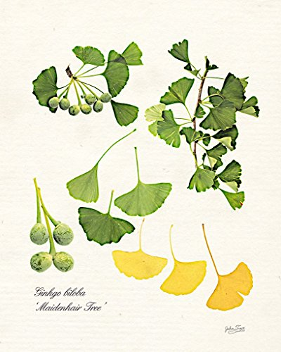 Ginkgo biloba botanical print. Fine Art Nature Photography Print for Home Decor Wall Art - Nature Made Ginkgo Biloba