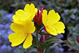 1000 YELLOW (DAY) EVENING PRIMROSE (Hookers Evening Primrose) Oenothera Hookeri Flower Seeds