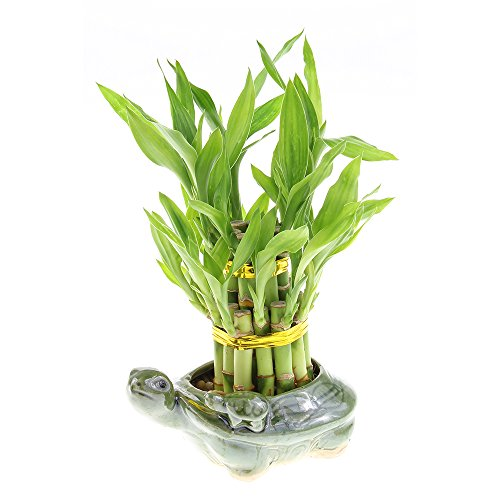 Two Tiered Lucky Bamboo Tower in Designer Turtle Pot by NW Wholesaler