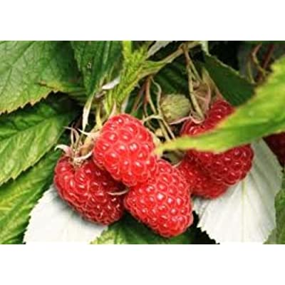 Cascade Bounty Raspberry Fruit Plant Seed 100 Stratisfied Berry Plant Seeds: Everything Else