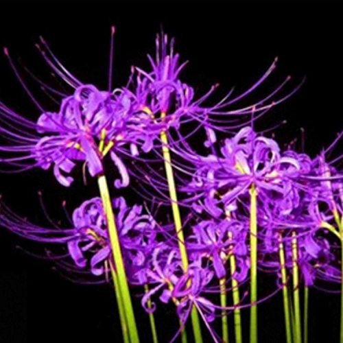 50 PCS Bulbs Lycoris Radiata Spider lily Bulb Seeds Home Garden Flower Seed Decor Seed Purple